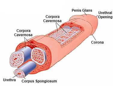 a pénisz merevedési állapotban van