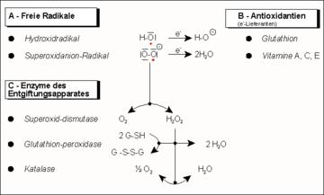 Jelátviteli kaszkád a nitrogén-oxid (NO-szintáz)