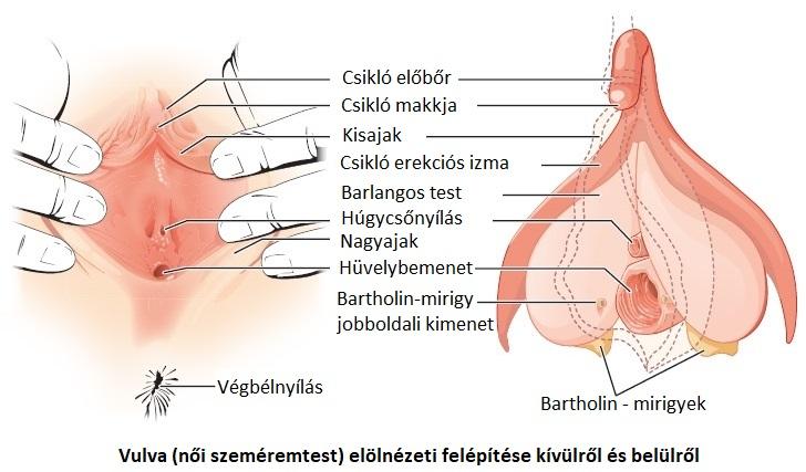 nemi szervek erekciója)