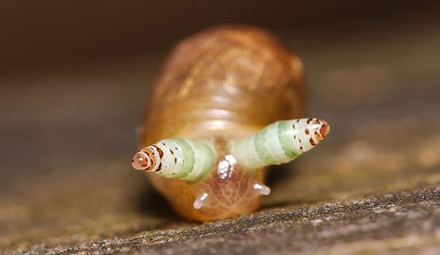 rovarok a péniszben