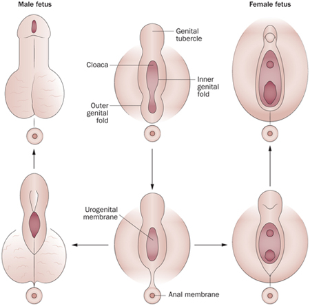 hogyan nő a pénisz