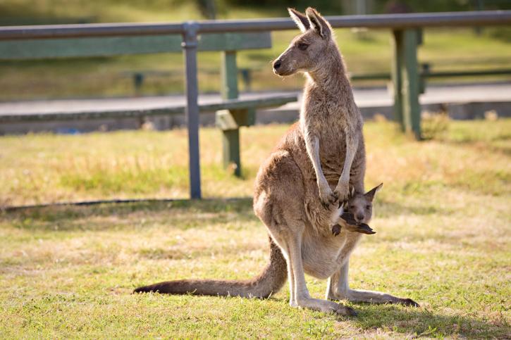 a kengurunak hímvesszője van