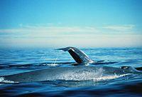 bálna legnagyobb pénisz)