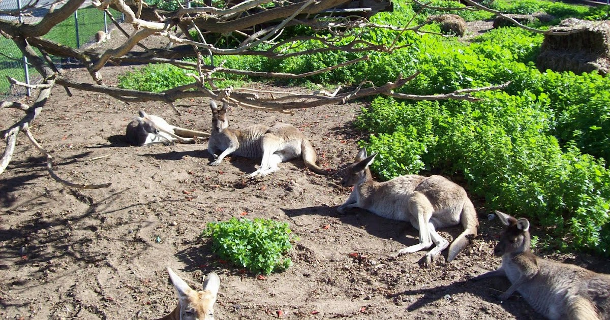 a kengurunak hímvesszője van)