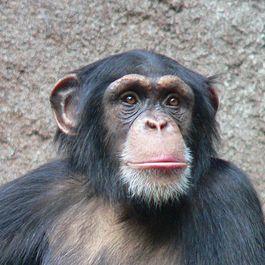 Csimpánz – Wikipédia