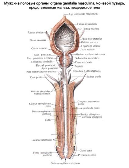 pénisz és funkciója