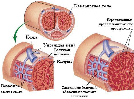 pénisz szerkezete)