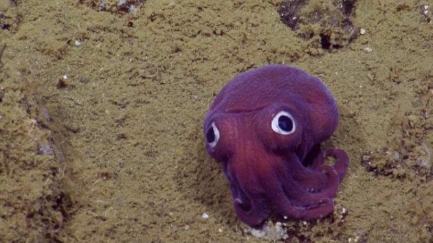Hatvanhét centiméter: hatalmasra növelte péniszét egy mélytengeri kalmárfaj