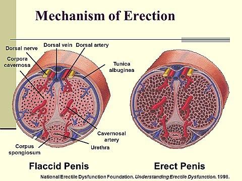 típusú pénisz az erekcióban