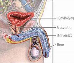 4 pénisztípus, amitől eszméletlen lesz az orgazmus! - Ripost