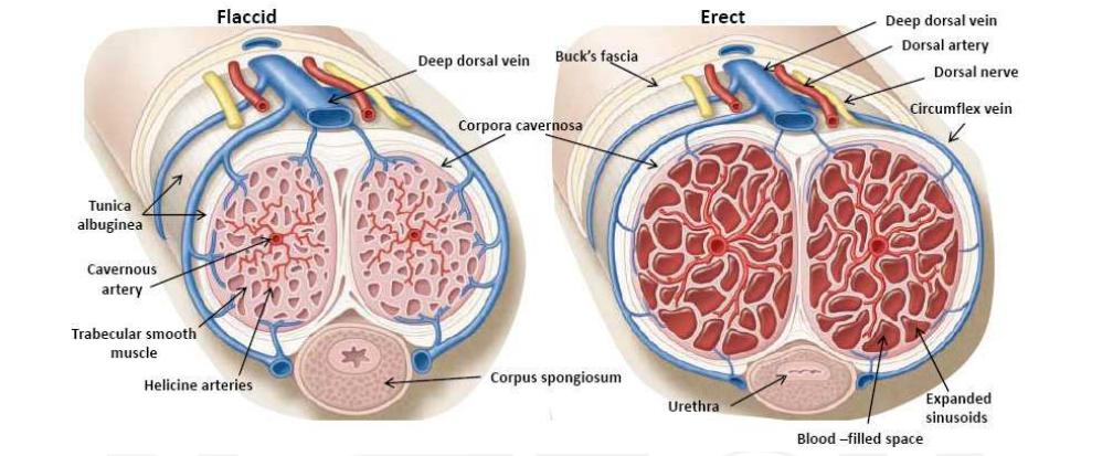 gyenge erekciós tünetek