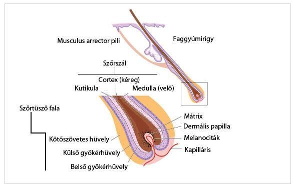 folliculitis a péniszen