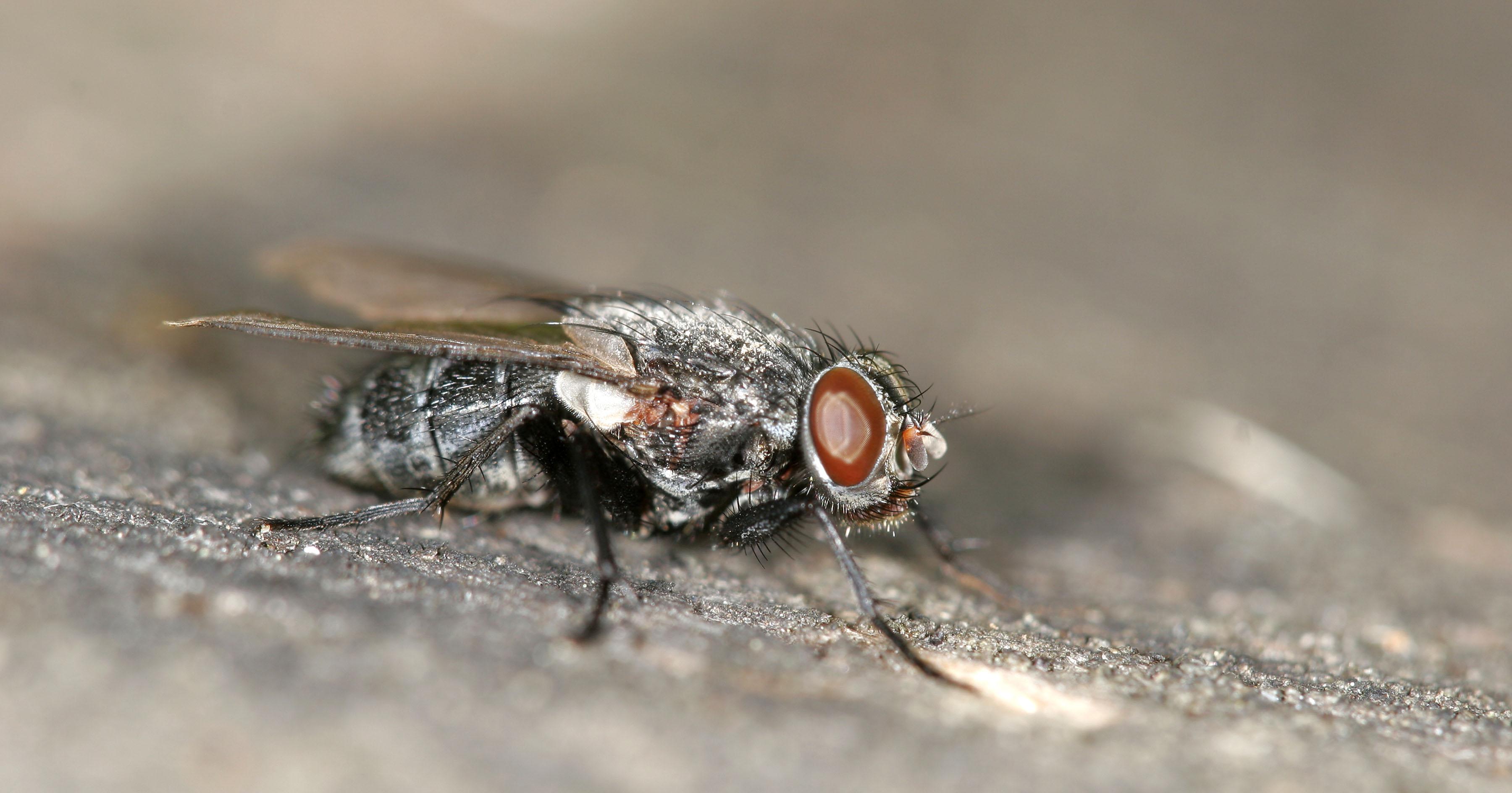 rovarok a péniszen)