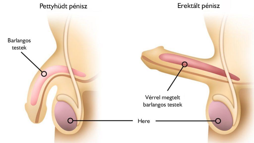 férfi nemi szervek merevedési állapotban)