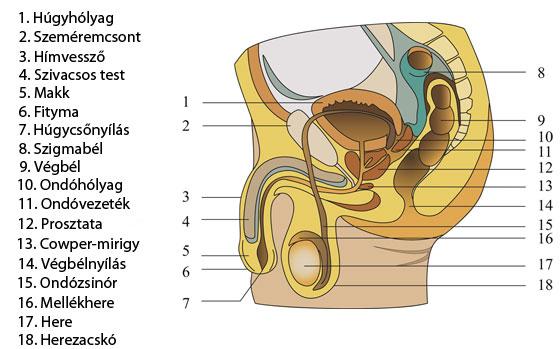 a pénisz puha az erekció során