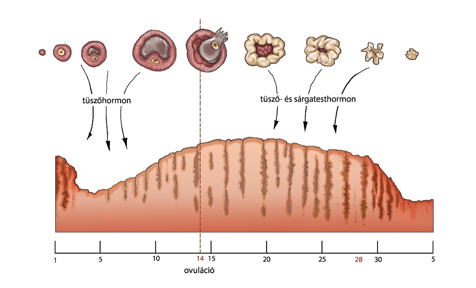 merevedés és ovuláció