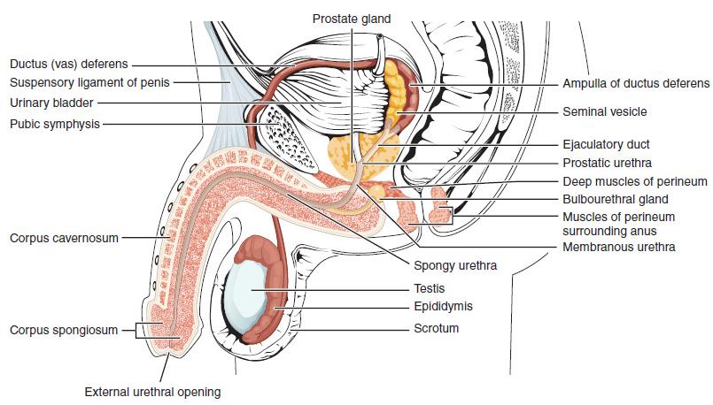 Gyakorlatok a pénisz bővítésére