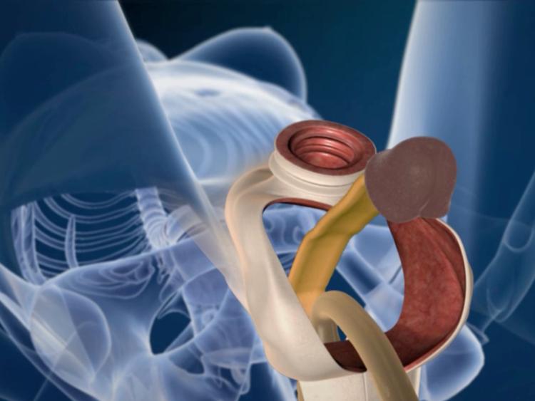 a pénisz funkciói a férfi testben