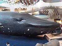 bálna legnagyobb pénisz