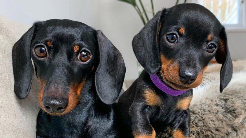 Szuka tacskó kutyáink verekszenek - Kutyák - pestihirdeto.hu