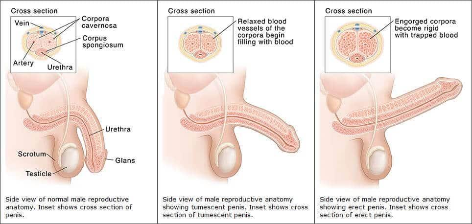 férfi erekciós szerv