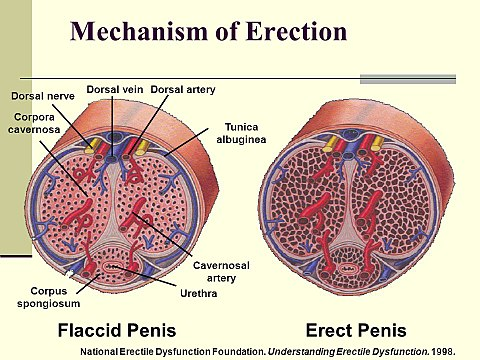 vér a péniszből erekció során